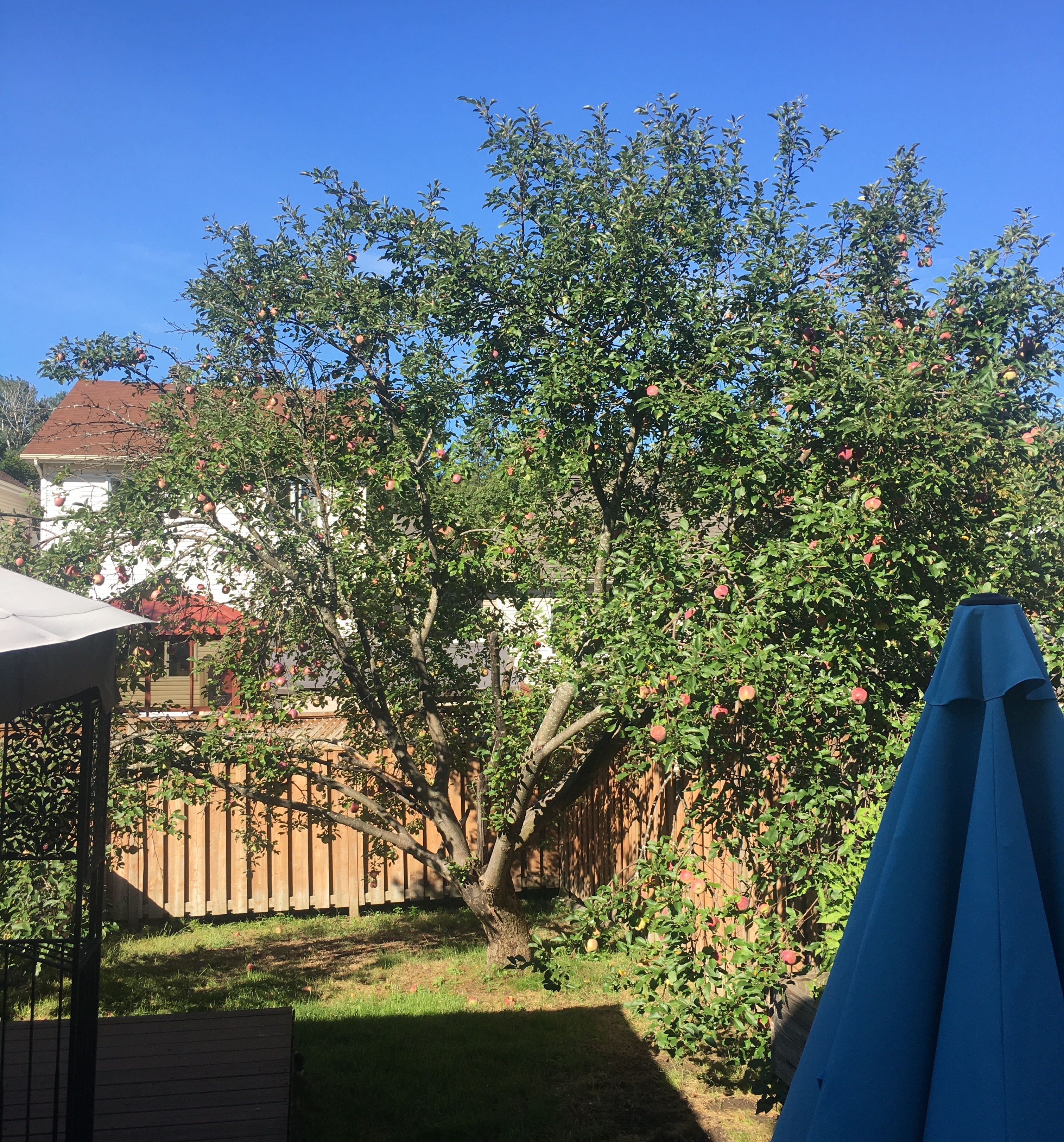 Our apple tree back in August